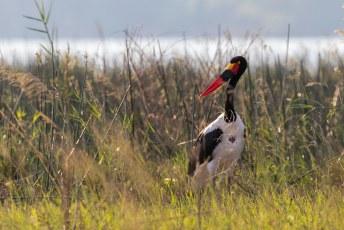De zadelbekooievaar (Ephippiorhynchus senegalensis), onze gids noemde hem de 'German Stork' omdat zijn snavel de kleuren van de moffenvlag heeft.