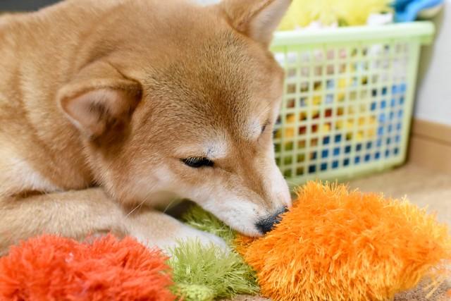 犬専用のおもちゃで一人遊びをする犬