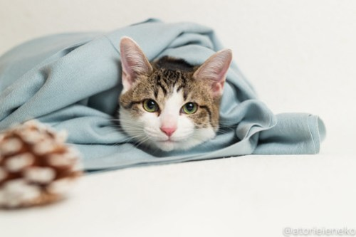 アトリエイエネコ Cat Photographer 46128206881_f4be4e7fc8 1日1猫!おおさかねこ倶楽部 里活中のカイくん♪ 1日1猫!  里親募集 茶トラ 猫写真 猫カフェ 猫 子猫 写真 保護猫カフェ 保護猫 ハチワレ ニャンとぴあ サビ猫 キジ猫 カメラ おおさかねこ倶楽部 Kitten Cute cat