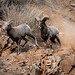 Mating Behavior - Bighorn Sheep