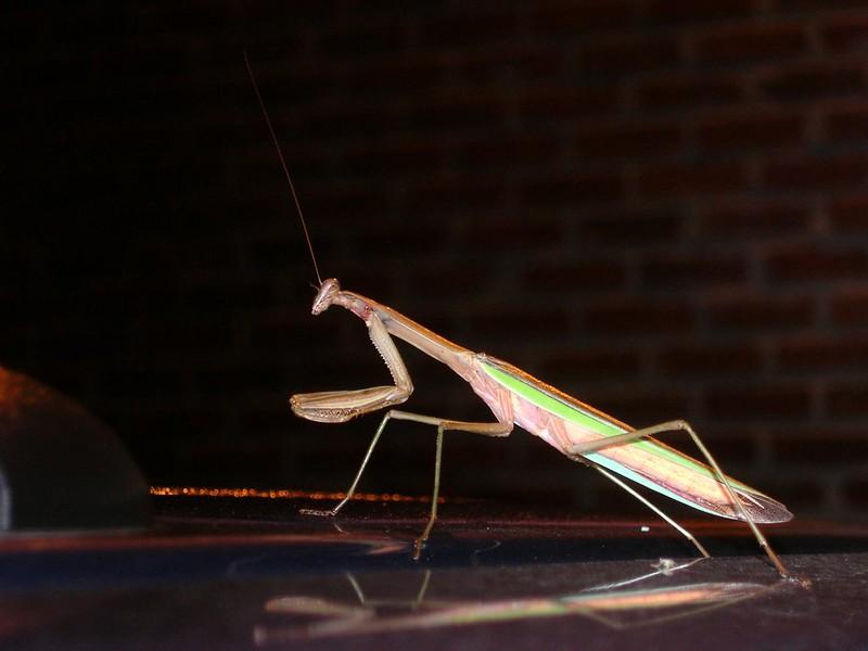 8.24.2008 praying mantis