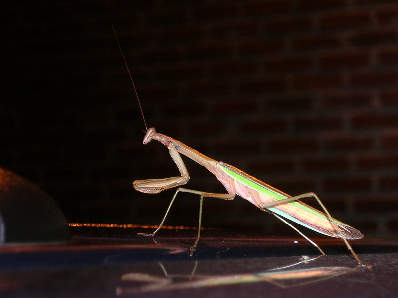 8.24.2008 praying mantis