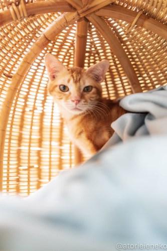 アトリエイエネコ Cat Photographer 46193389892_afa2b3e209 1日1猫!高槻ねこのおうち  里親決定のみかんちゃん♫ 1日1猫!  高槻ねこのおうち 里親募集 茶トラ 猫 子猫 ねこ sheltercat photo Kitten cat
