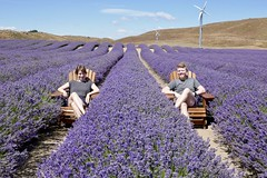 Alpine Lavender