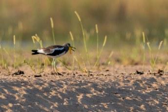 Kijk dan wat een rare vogel, de Witkruinkievit (Vanellus albiceps), met zijn rare gele flappen aan de snavel.