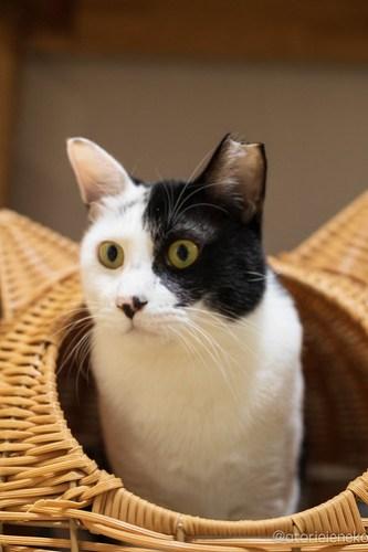 アトリエイエネコ Cat Photographer 31384526817_3a6d158068 1日1猫!保護猫カフェけやきさん! 1日1猫!  里親募集 猫写真 猫カフェ 猫 守口 子猫 写真 保護猫カフェけやき 保護猫カフェ 保護猫 カメラ おおさか Kitten Cute cat
