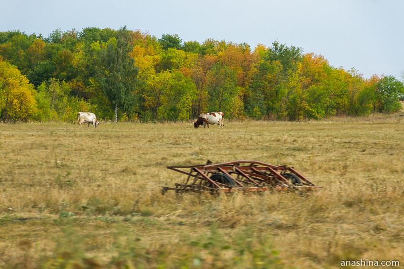 Коровы, Саратовская область