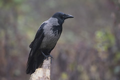 Cornacchia - Hooded crow