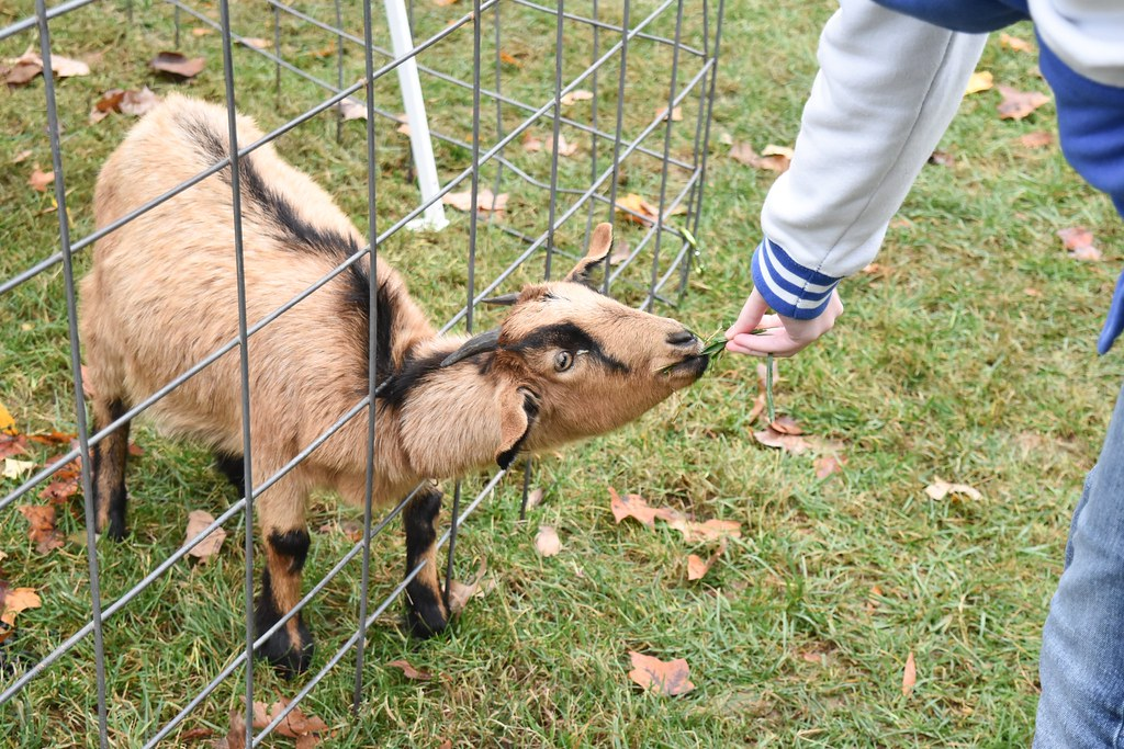A student hand feeds a goat