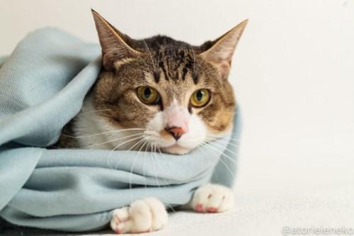 アトリエイエネコ Cat Photographer 46128222211_01ff4f015e 1日1猫!おおさかねこ倶楽部 里活中のドラくん♪ 1日1猫!  黒猫 里親募集 茶トラ 猫写真 猫カフェ 猫 子猫 保護猫カフェ 保護猫 ハチワレ ニャンとぴあ サビ猫 キジ猫 カメラ おおさかねこ倶楽部 Kitten Cute cat
