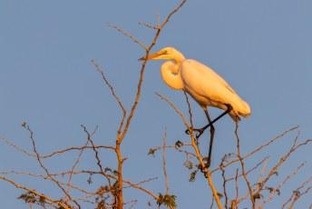 De Grote Zilverreiger of Great Egret (Ardea alba). Niet zo bijzonder, hij komt op bijna alle continenten voor.