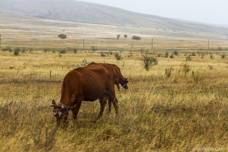 Коровы, Крым