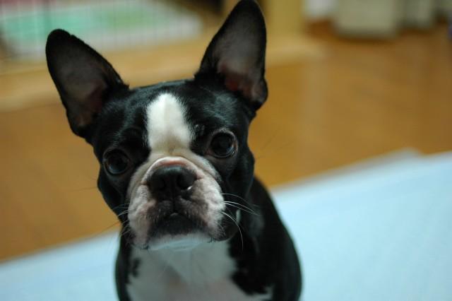 膀胱炎になった犬