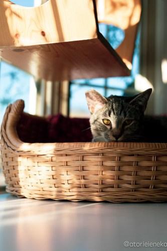 アトリエイエネコ Cat Photographer 45872174732_a791ed9f71 1日1猫!高槻ねこのおうち 里活中のアポロくん♫ 1日1猫!  高槻ねこのおうち 高槻 里親様募集中 里親募集 猫写真 猫 子猫 大阪 写真 保護猫 キジ猫 カメラ Kitten Cute cat