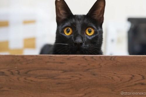 アトリエイエネコ Cat Photographer 31384534307_2b618cc37c 1日1猫!保護猫カフェけやきさん! 1日1猫!  里親募集 猫写真 猫カフェ 猫 守口 子猫 写真 保護猫カフェけやき 保護猫カフェ 保護猫 カメラ おおさか Kitten Cute cat