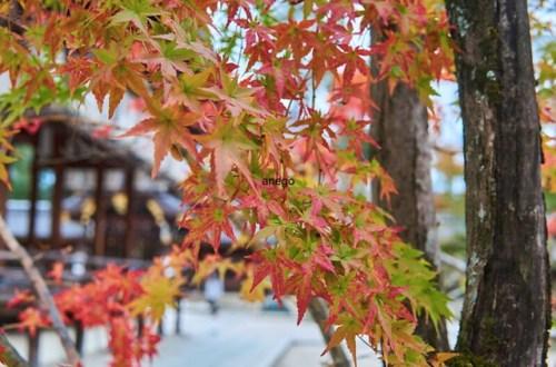 今宮神社 紅葉