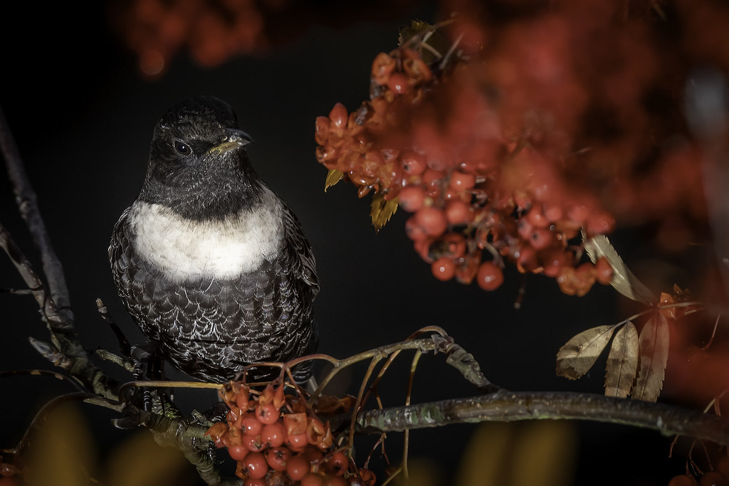 Ring Ouzel, always watching