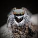 Maratus vultus f 2