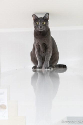 アトリエイエネコ Cat Photographer 46273211202_284f3a31b5 1日1猫!保護猫カフェけやきさん! 1日1猫!  里親募集 猫写真 猫カフェ 猫 守口 子猫 写真 保護猫カフェけやき 保護猫カフェ 保護猫 カメラ おおさか Kitten Cute cat