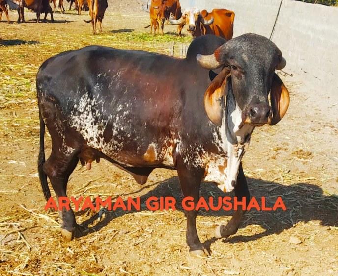 Aryaman Gir Gaushala | Pashumandi in