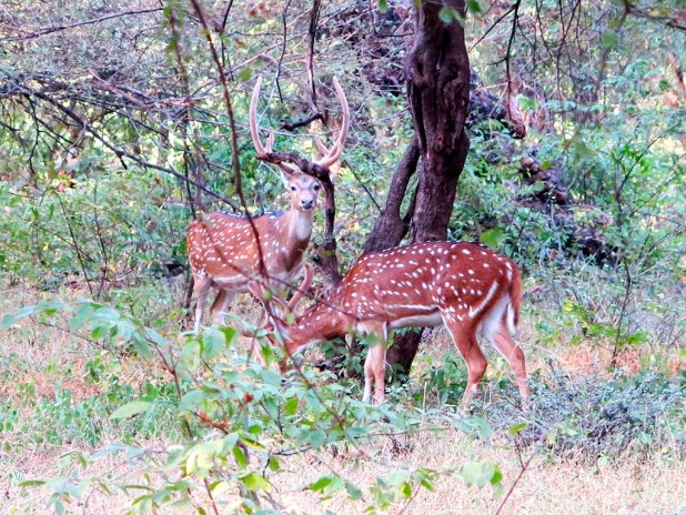 Animales en Ranthambore