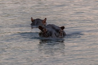 Net als deze hippos.
