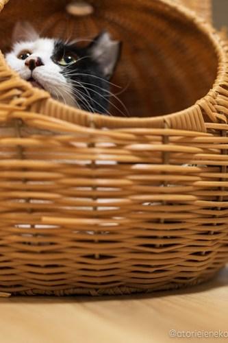 アトリエイエネコ Cat Photographer 46273212402_3954a13d13 1日1猫!保護猫カフェけやきさん! 1日1猫!  里親募集 猫写真 猫カフェ 猫 守口 子猫 写真 保護猫カフェけやき 保護猫カフェ 保護猫 カメラ おおさか Kitten Cute cat