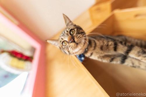 アトリエイエネコ Cat Photographer 46128204371_2657d09d44 1日1猫!おおさかねこ倶楽部 里活中のおうくん♪ 1日1猫!  里親募集 茶トラ 猫写真 猫カフェ 猫 子猫 写真 保護猫カフェ 保護猫 ハチワレ ニャンとぴあ サビ猫 キジ猫 カメラ おおさかねこ倶楽部 Kitten Cute cat