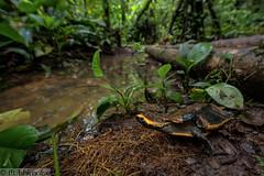 Twist-necked turtle- Platemys platycephala