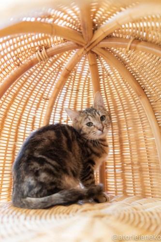 アトリエイエネコ Cat Photographer 46244127011_d2c43caef8 1日1猫!高槻ねこのおうち  里活中のアメリちゃん♫ 1日1猫!  高槻ねこのおうち 里親募集 猫 子猫 保護猫 ねこ sheltercat photo Kitten cat