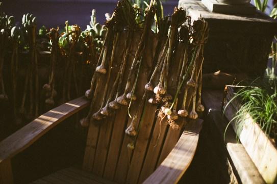 Garlic curing on the aidirondack