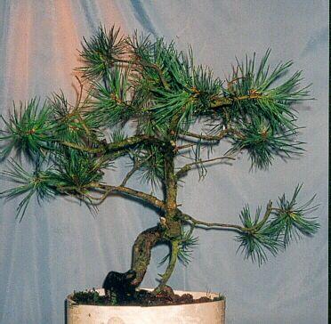 Scot's Pine Progression 1998 – 2010 (1/6)