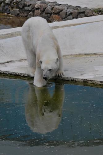 Eisbärin Blanche in der Monde Sauvage Safari