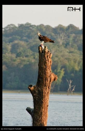 Osprey with feed | Kabini