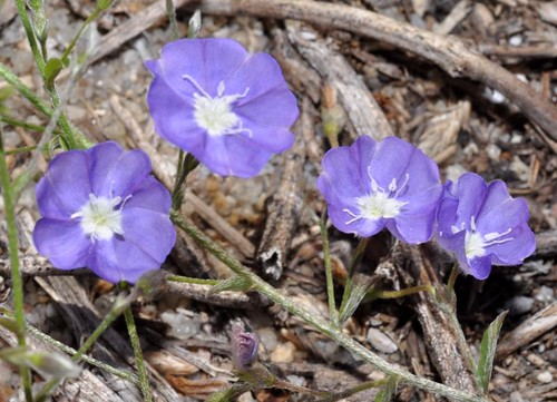 Evolvulus alsinoides (Dwarf Morning-Glory)