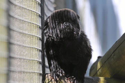 Springtamarin im Hamerton Zoo Park