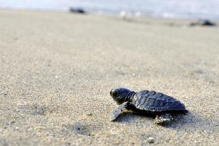 Olive Ridley Sea Turtles Hatch in Bataan