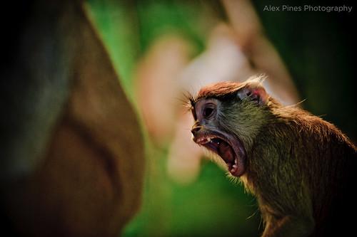 the primate