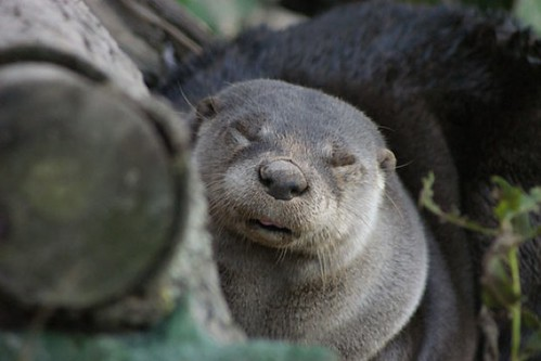 sleepy-looking river otter next to a log