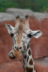 Rothschild Giraffe  im Gaia Park Kerkrade im Mai 2010