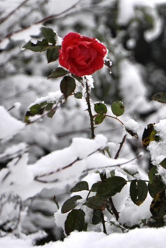 Snow+Roses_7743