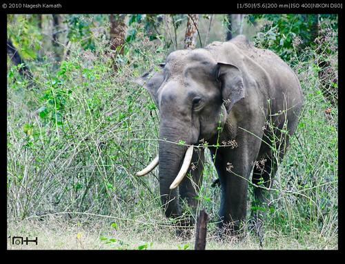 A lone bull elephant | Kabini