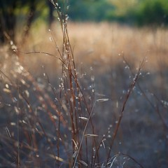 Grass at Sunset ~ oscote365 77