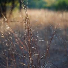 Grass at Sunset ~ oscote365 77