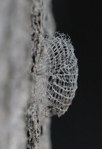 cocoon of Wockia asperipunctella