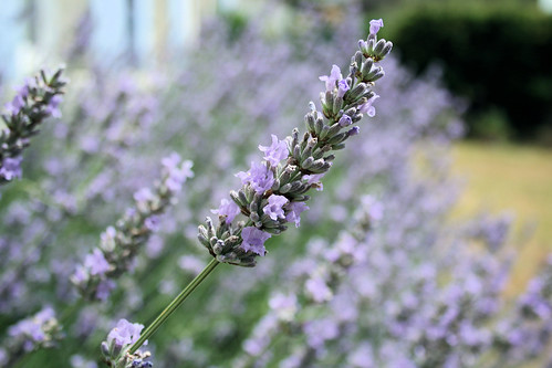Lyrical Lavender in bloom in France by French Tart