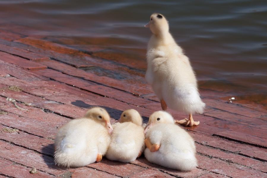 20110205_07_Beautiful Duckling_06