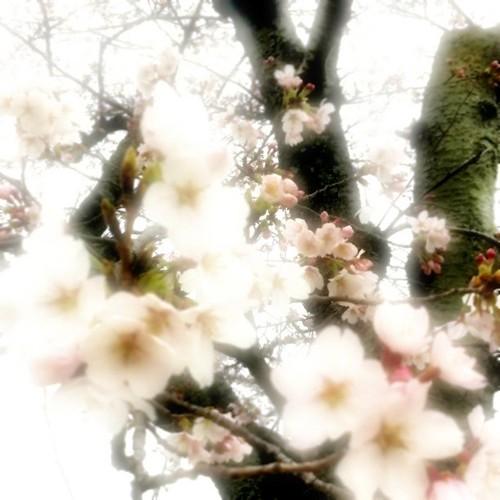 王寺の桜。今日は曇り空だったね! #sakura