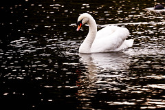 Black water and white swan