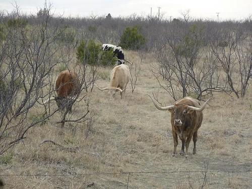Palo Duro 5 - Longhorns
